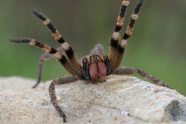 most-poisonous-spider-in-the-world