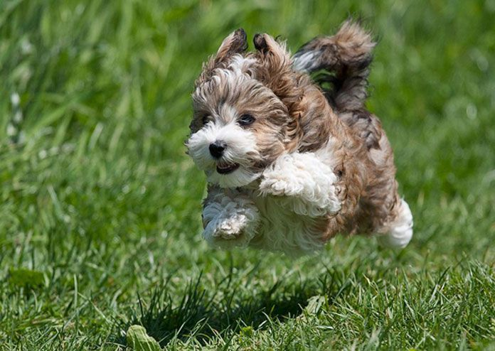 Havanese -dogs that stay small forever