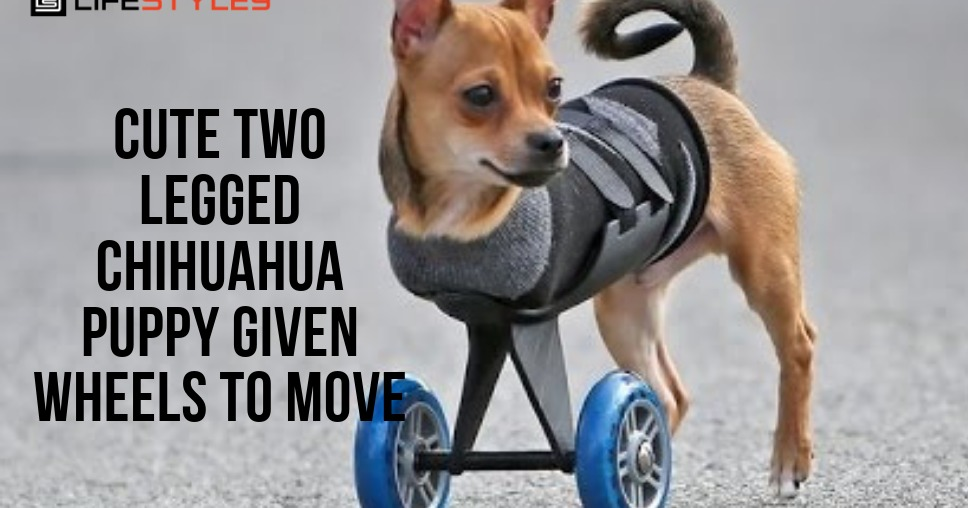 Cute Two-Legged Chihuahua Puppy Given Wheels To Move