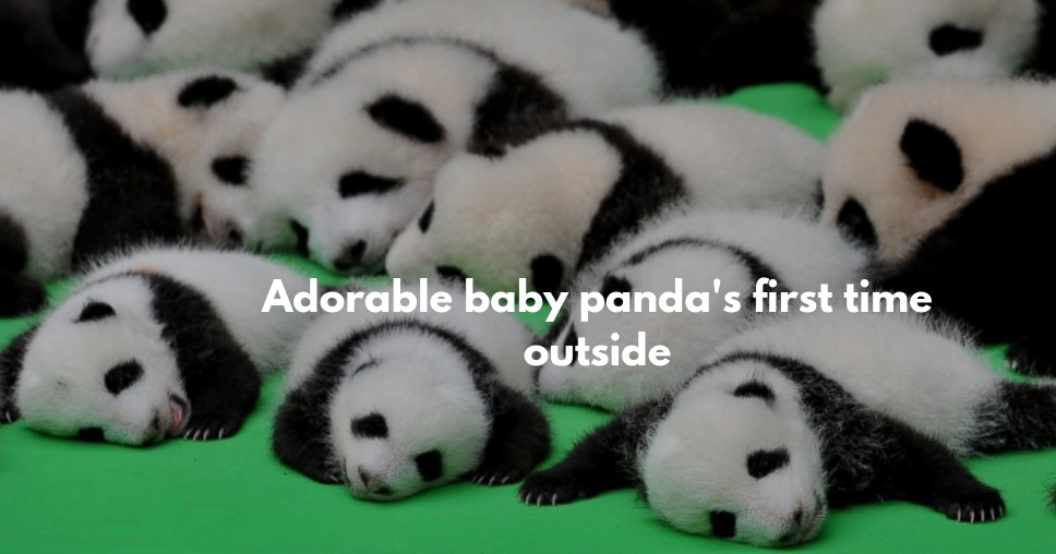 Adorable baby panda's first time outside